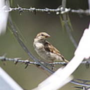 Sparrow - Protected By Razor Wire Art Print