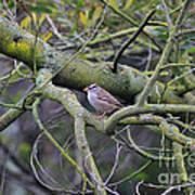 Sparrow Bird Perched . 40d12307 Art Print
