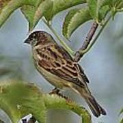 Sparrow I Art Print