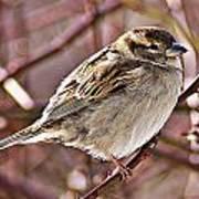 Sparrow II Art Print