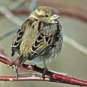 Sparrow IIi Art Print
