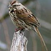 Sparrow Iv Art Print