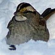 Sparrow V Art Print