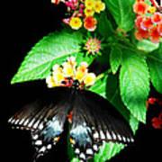 Spice Bush Swallowtail  Art Print