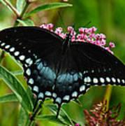 Spicebush Swallowtail Din038 Art Print