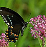 Spicebush Swallowtail Din039 Art Print