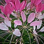 Spider Flower Art Print