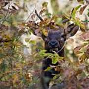 Spike Elk In Brush Art Print