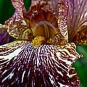 Splashed Iris Art Print