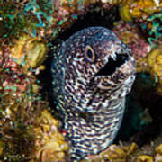 Spotted Moray Eel Art Print