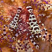 Spotted Periclimenes Colemani Shrimp Art Print