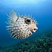 Spotted Porcupinefish Art Print