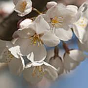 Spring Blooming Yoshino Cherry Tree Art Print