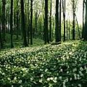 Spring Forest View With Anemones, Rugen Art Print by Sisse Brimberg