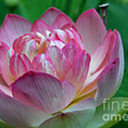 Spring Lotus-08 Art Print