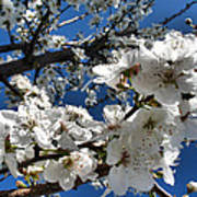 Spring Pear Blossoms 2012 Art Print by Joyce Dickens