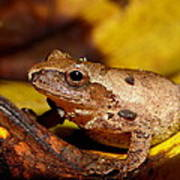 Spring Peeper On Fall Leaves Art Print by Griffin Harris