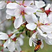 Springtime Weeping Cherry Tree Art Print