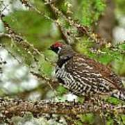 Spruce Grouse Art Print