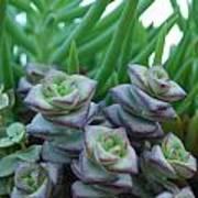 Squarely Purple Succulent Crassula Baby Necklace Art Print