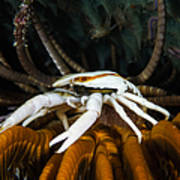 Squat Lobster Carrying Eggs, Indonesia Art Print