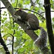 Squirrel I Art Print