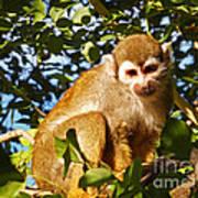 Squirrel Monkey Art Print