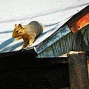 Squirrel On A Hot Tin Roof Art Print
