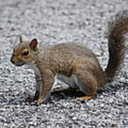 Squirrel On A Road Art Print