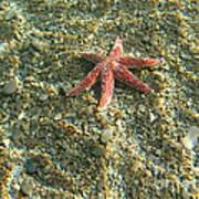 Starfish In Shallow Water Print by Ted Kinsman