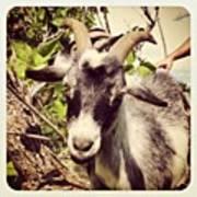 Steve My Goat Art Print