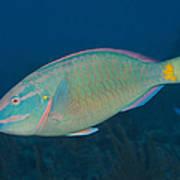 Stoplight Parrotfish On Caribbean Reef Art Print