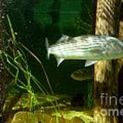 Striped Bass In Aquarium Tank On Cape Cod Art Print