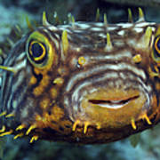 Striped Burrfish On Caribbean Reef Art Print