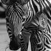 Stripes - Zebra Art Print