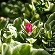 Succulent's Ruby Art Print