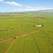 Sugar Cane Fields Art Print