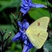 Sulphur Butterfly On Wildflower Art Print