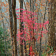 Sumac In Morning Light At Cumberland Falls State Park Art Print