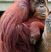 Sumatran Orangutan Art Print