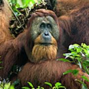 Sumatran Orangutan Pongo Abelii Art Print