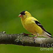 Summer Joy - Male Gold Finch Art Print by Inspired Nature Photography Fine Art Photography