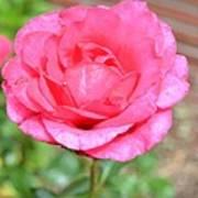Summer Pink Rose Floral Art Print