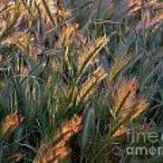 Sun Kissed Grass Art Print