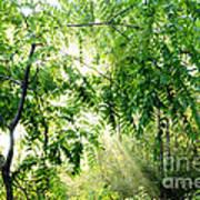 Sun Rays Through Black Walnut Leaves Art Print