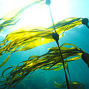 Sun Shines Through Bull Kelp Art Print