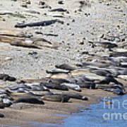 Sunbathing Elephant Seals Along A Beach At Point Reyes California . 7d16065 Art Print