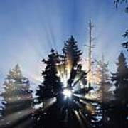 Sunburst Through Silhouetted Pine Trees Art Print