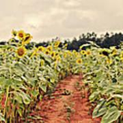 Sunfllower Farm Art Print