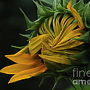 Sunflower 2012 Art Print